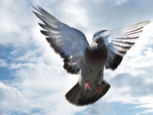 Image source: http://smashmaterials.com/wp-content/uploads/2011/10/Beautiful-Pigeon-Wallpapers-12.jpg