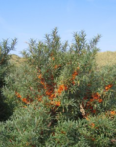 Buckthorn Source: Wikipedia Creative Commons Attribution: Svdmolen http://commons.wikimedia.org/wiki/File:Hippophae_rhamnoides-01_(xndr).JPG#file