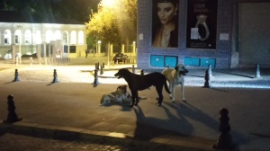 Some of Istanbul's many stray dogs